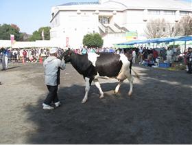 乳牛共進会
