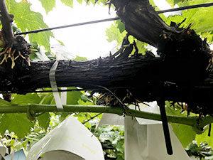枝の固定作業